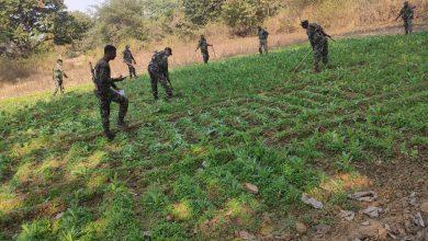 Photo of खूंटी पुलिस ने ग्यारह एकड़ अफीम की खेती को किया नष्ट