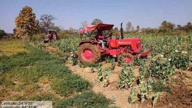 Photo of कुन्दा के चाया में 12 एकड़ में लगी अफीम की खेती को किया गया नष्ट